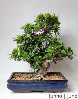 Ficus Retusa 20 anos