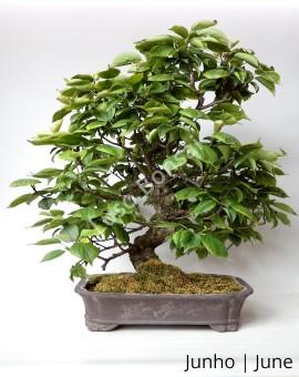 Prunus Mume 32 anos