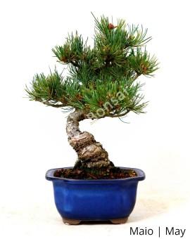 Pinheiro Pentaphylla 27 anos C