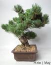 Pinheiro Pentaphylla 34 anos