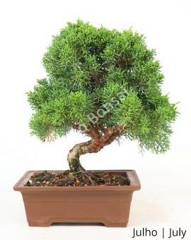 Juniperus Itoigawa 21 anos B
