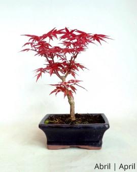 Acer Palmatum Deshojo 7 anos