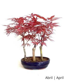 Acer Palm. Atropurpureum 10 anos
