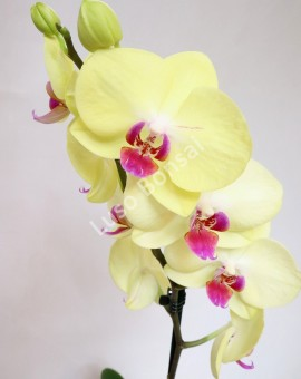 "Phalaenopsis ""Yellow"""