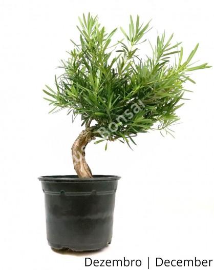 Podocarpus 8 anos - Pré-Bonsai