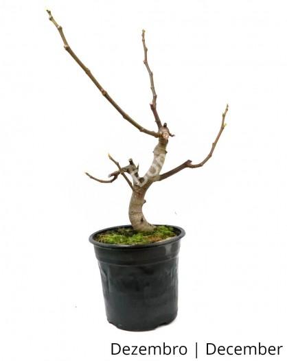 Figueira 8 anos - Pré-Bonsai