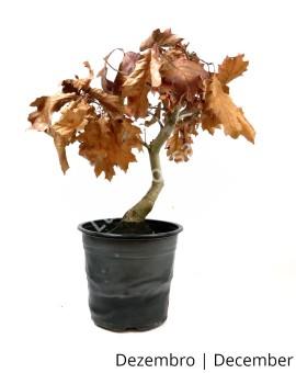Quercus Rubra - Carvalho USA 8 anos - Pré-Bonsai