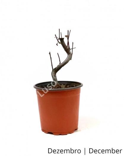 Prunus Cistena 5 anos - Pré-Bonsai