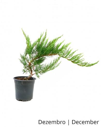 Juniperus Sabina Tamariscifolia 5 anos - Pré-Bonsai