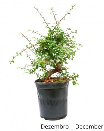 Cotoneaster 8 anos - Pré-Bonsai