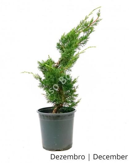 Juniperus Sargentii 8 anos - Pré-Bonsai