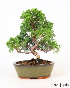 Juniperus Itoigawa 19 anos