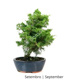 Juniperus Itoigawa 12 anos