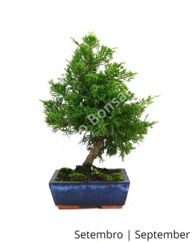 Juniperus Itoigawa 8 anos