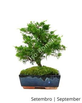 Juniperus Itoigawa 10 anos